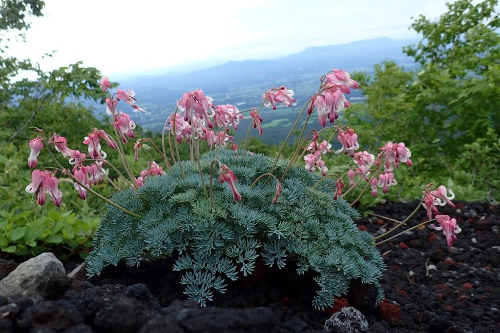 コマクサ 岩手山