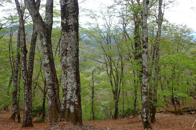 大峰山 ブナの森