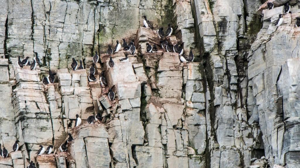 オロロン鳥の営巣地