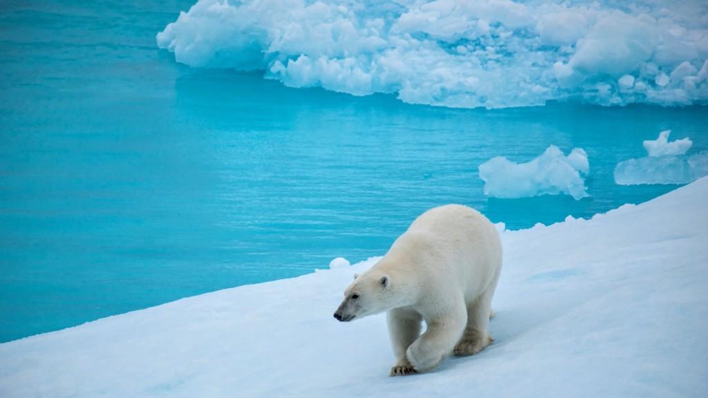 流氷上のしろくま