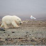 北極クルーズ ホッキョクグマがベルーガを食べていた!