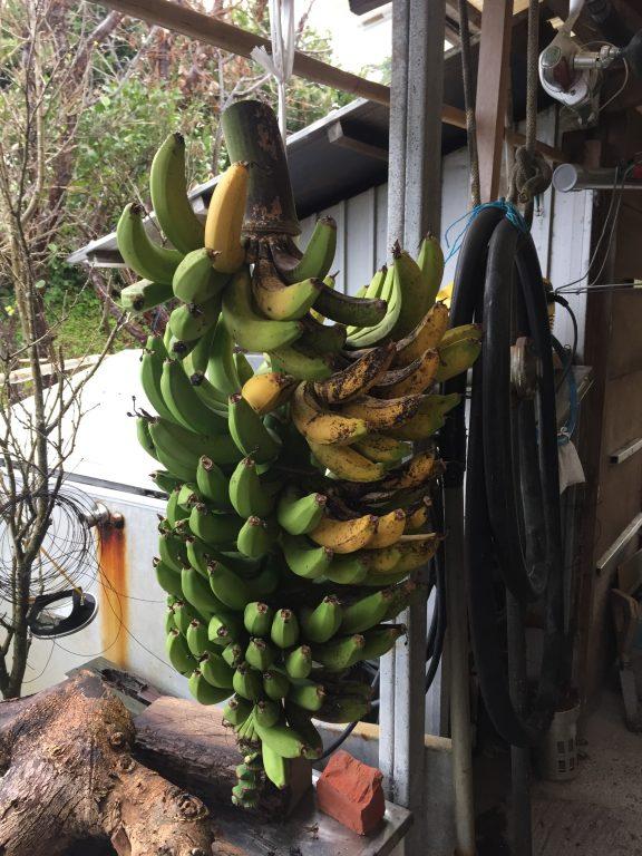 悪石島のバナナ