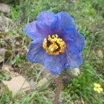 青いケシの咲く 大姑娘山と九寨溝・黄龍
