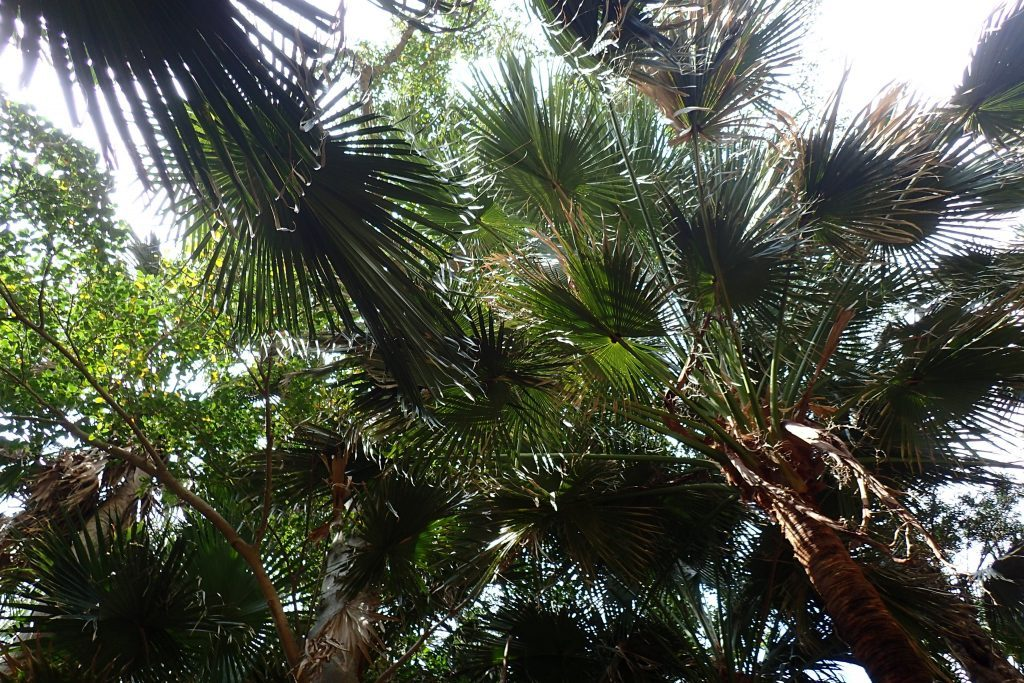 悪石島ビロウ樹の森