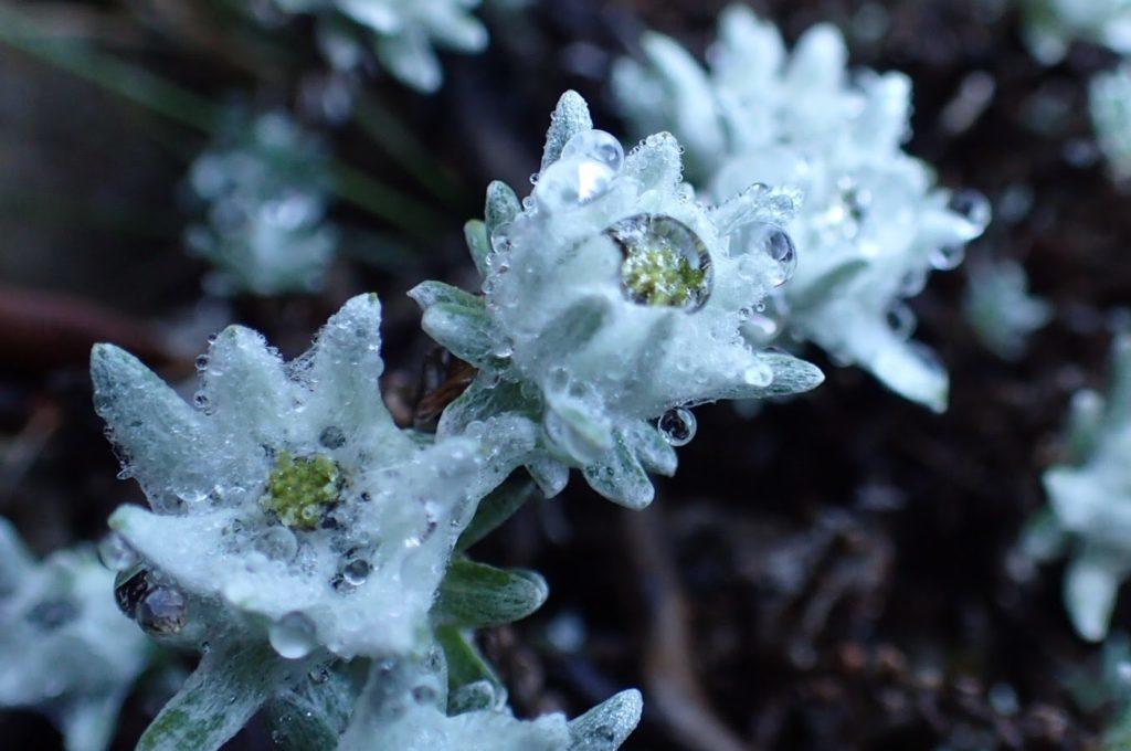 玉山薄雪草