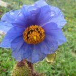登山者の憧れ ヒマラヤの青いケシ
