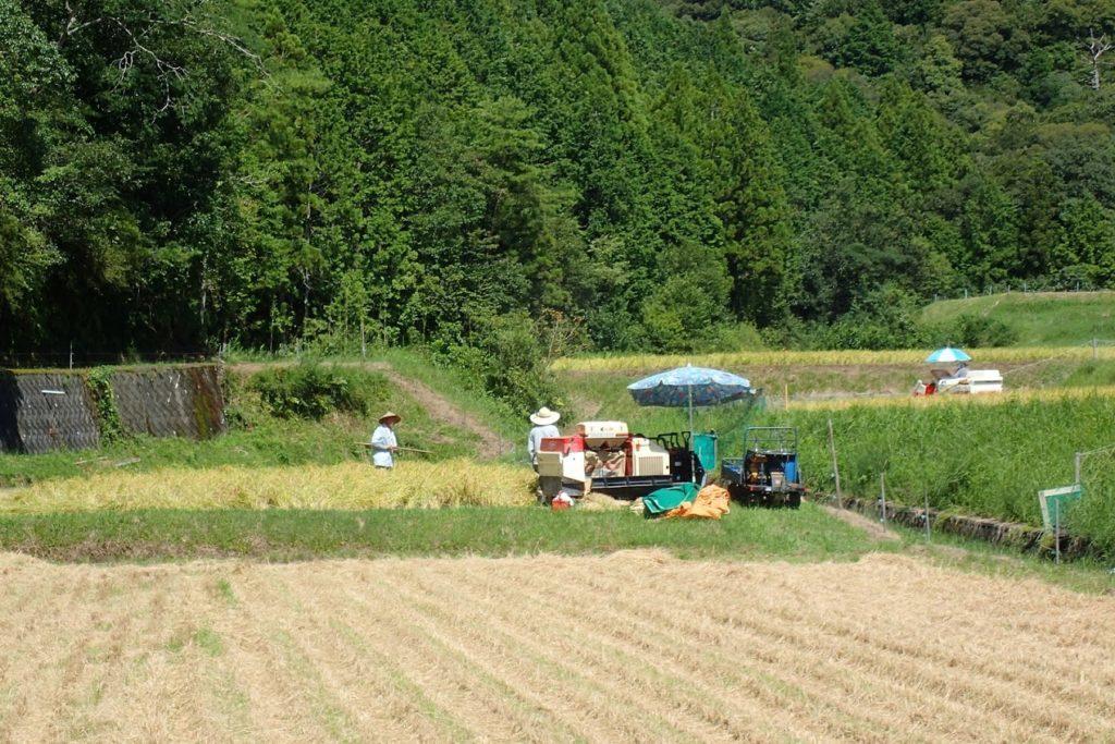 お盆の稲刈り