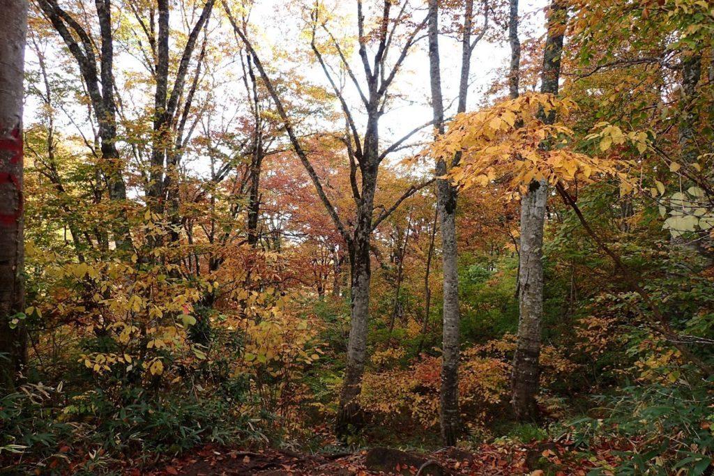 雨飾山ブナの森