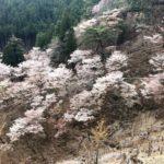 山桜の吉野山を歩く 下千本から青根ヶ峰