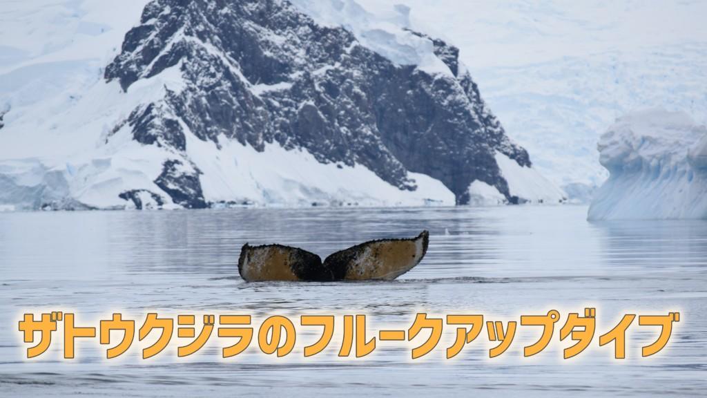 ザトウクジラのフルークアップダイブ