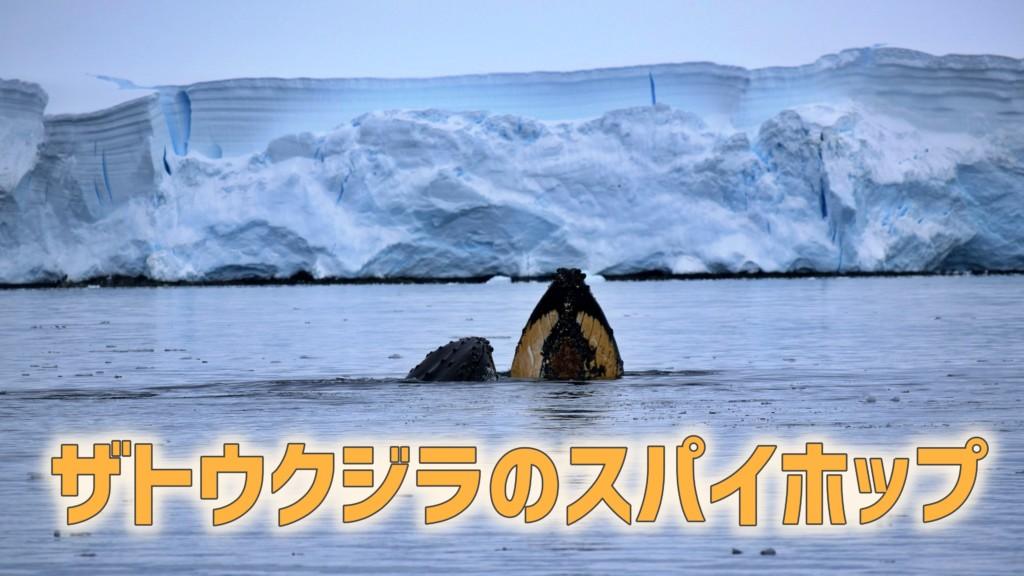 ザトウクジラのスパイホップ