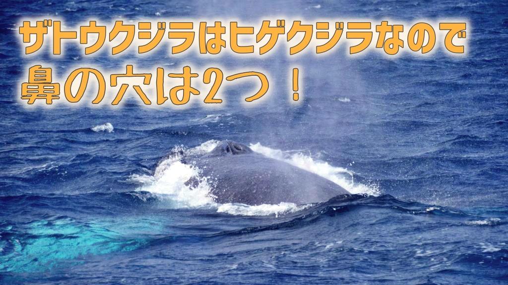 ザトウクジラの鼻の穴