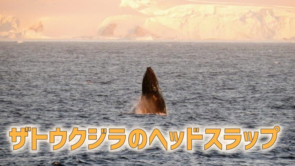 ザトウクジラのヘッドスラップ