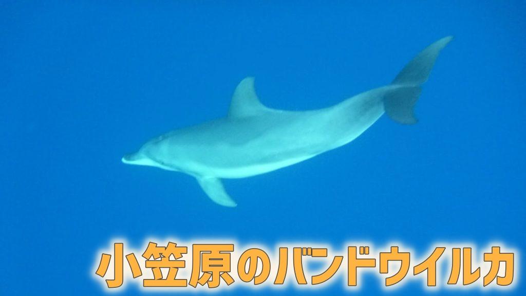 小笠原のバンドウイルカ