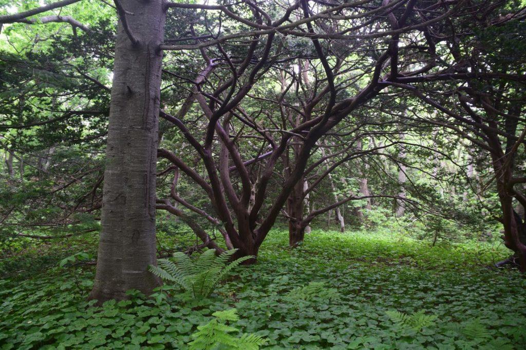 焼尻島オンコ自然林