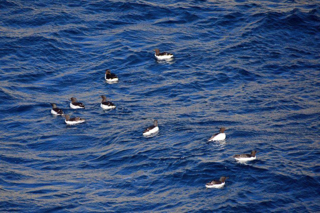 海の上のオロロン鳥
