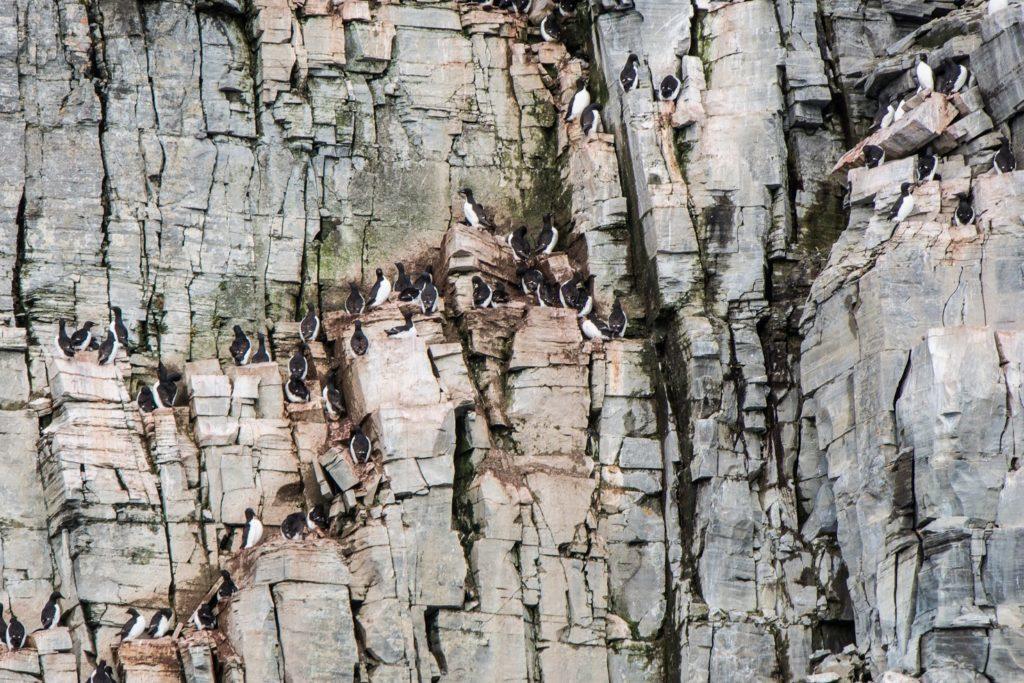 オロロン鳥の巣