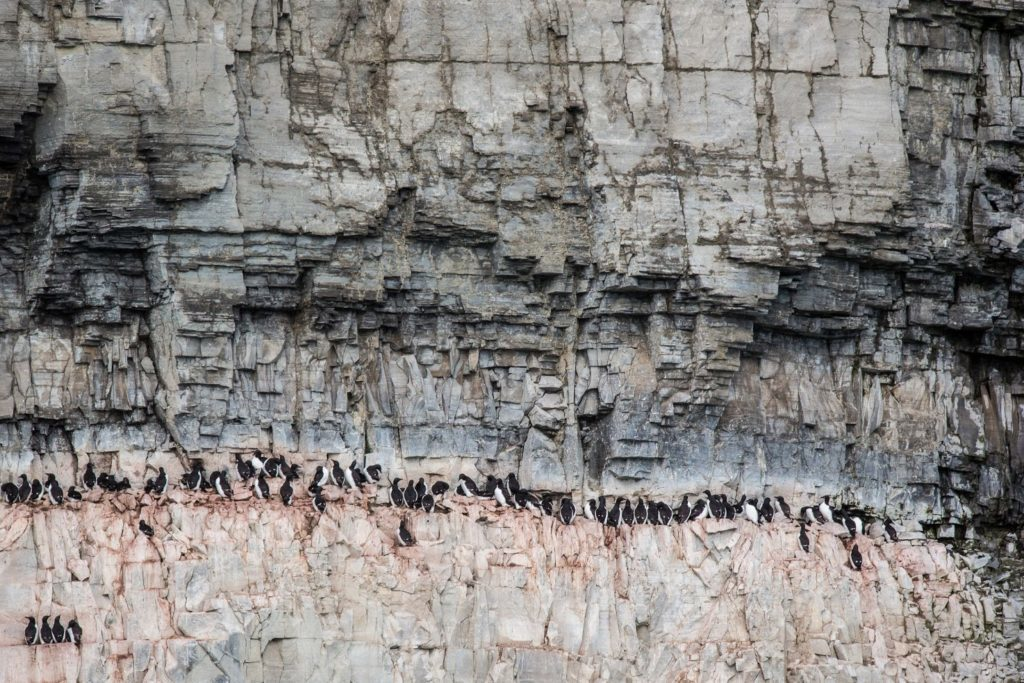 オロロン鳥の繁殖地