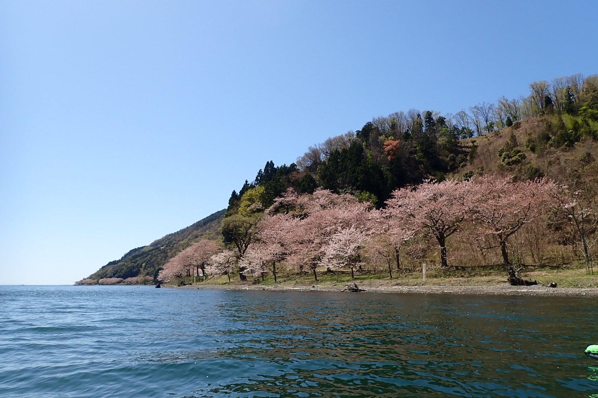 琵琶湖 海津大崎 桜 カヤック